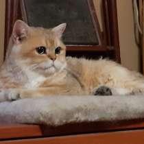 Британское сокровище Юлий, молодой домашний котик, в г.Москва