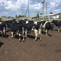 Телки Черно-пестрые 150-300 кг, в Кургане