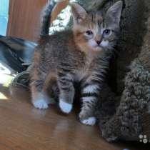 Крошка-Картошка, чудесный домашний котенок в дар, в г.Москва