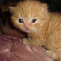 Рыжие британские котята, в г.Краснодар
