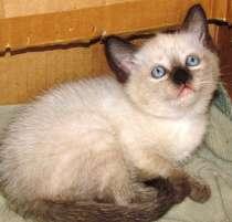 Сиамский котёнок, в г.Крымск