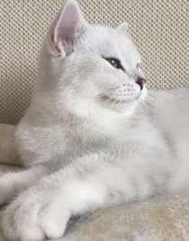 Британский клубный котенок шоу класса серебристая шиншилла, в Москве