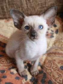 котята Ориентальной породы, в Ижевске