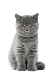 Британские короткошерстные голубые котята, в Санкт-Петербурге