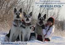 Чистопородные щенки ВЕО от отличных, р работающих родителей, в г.Вологда