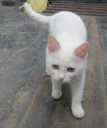 Котенок-девочка беленькая пушистая, в Челябинске
