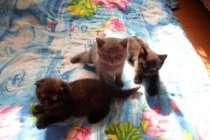 Шотландские котята, в Каменске-Уральском