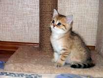 Шотландский котик в золотой шубке, в Ростове-на-Дону