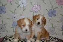 Продаются замечательные щенки, в Краснодаре