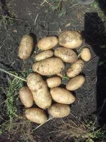 Картофель крупным и мелким оптом, Лабинск Кр. кр, в Краснодаре