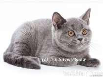 Британские котята из питомника Москвы, в Воронеже