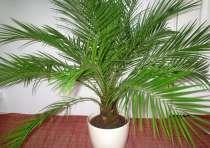 Комнатная пальма финиковая 15 лет, в г.Шымкент