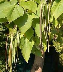 Катальпа - дерево потрясающей красоты. Саженцы, в Воронеже
