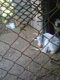 Продам коз и козлов на племя, в г.Шымкент
