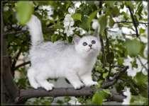 котята британские шиншилла, в Омске