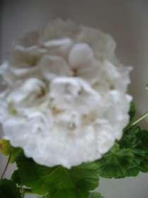 Герань белая, махровая, куст, в Москве