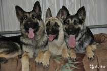 Продам щенков Восточно европейской овчарки, в Омске