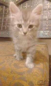 Котята эрмики, в Краснодаре