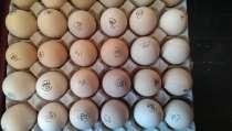 Инкубационное яйцо и молодняк домашней птицы, в Екатеринбурге