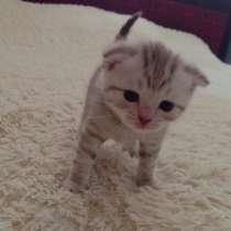 Продаются шотландские котята, в Красноярске