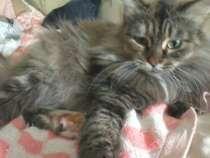 Отдам даром Кошка Маша ищет дом, в Кемерове