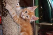 Продам котят породы мейн кун, в Междуреченске
