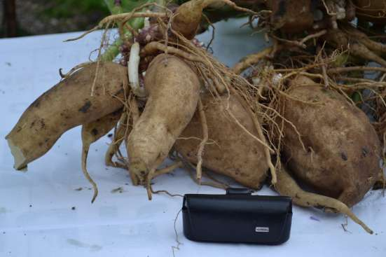 Якон - сахароснижающее растение