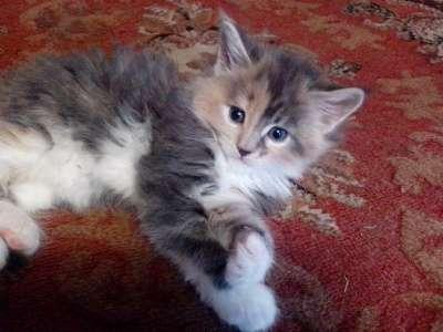 котята МЕЙН-КУН в Липецке Фото 2