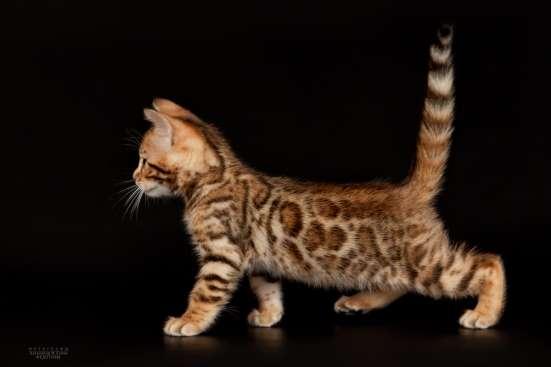 Питомник бенгальских котят в Челябинске Фото 1
