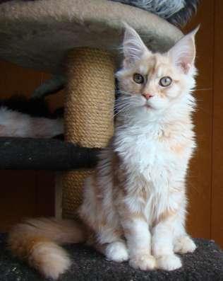 Продам кошечку породы мейн кун - Ксена в Томилино Фото 3
