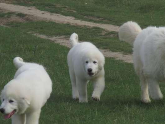 Овчарка Белая Итальянская Маремма Охрана Дома и Семьи в Краснодаре Фото 4