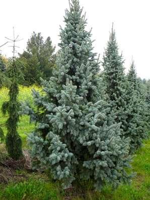 Хвойные растения. Саженцы зкс в Воронеже Фото 1