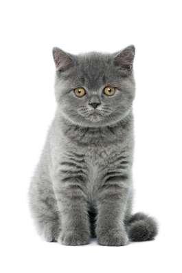 Британские короткошерстные голубые котята