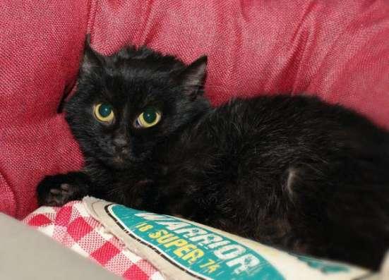 Черная восточная ночь - котенок Суламифь в дар.
