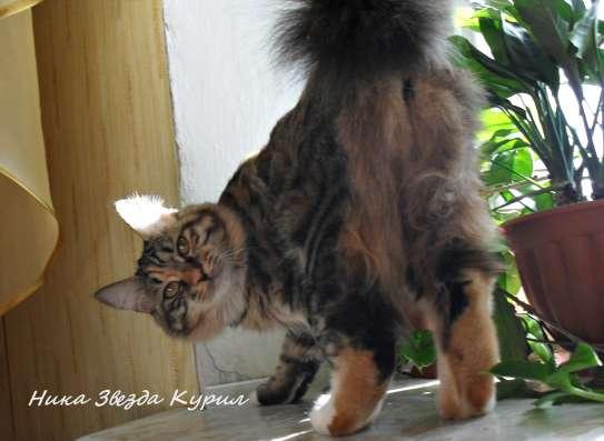 Высокопородные котята - кошечки Курильского бобтейла