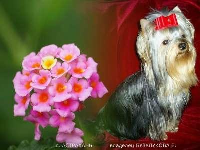 Щенков йоркширского терьера! в Астрахани Фото 1