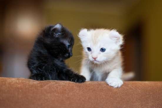 Американский керл котята в г. Минск Фото 1