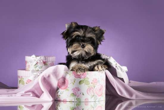 Йорк (шоколадный ген) девочка щенки продаю