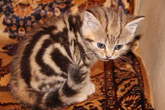 Чистокровные котята в Нижнем Новгороде Фото 3