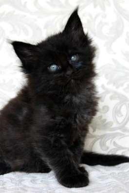 Элитные котята Мейн Кун! в Москве Фото 1