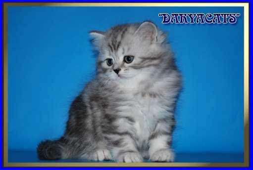 Шотландские и британские котята мрамор и вискас в Москве Фото 1