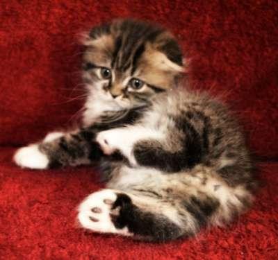 Котята, порода шотландская