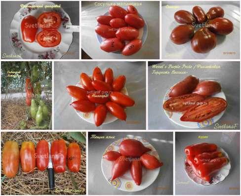 Семена томатов 300 сортов от коллекционера