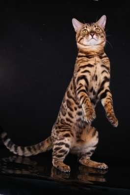 Бенгальский кот. Вязка в Туле Фото 3