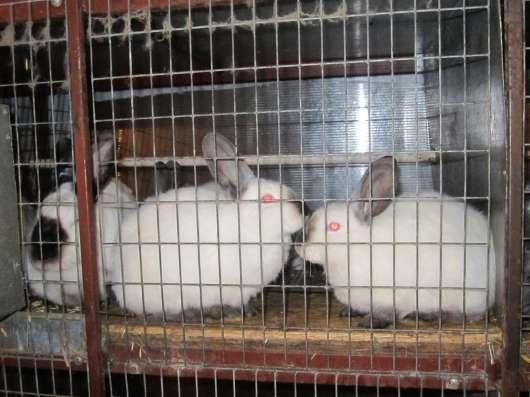 Породистые кролики на завод в Волгограде Фото 2