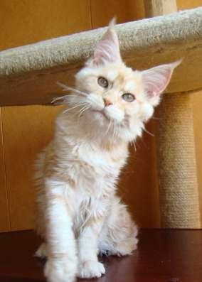 Продам кошечку породы мейн кун - Ксена в Томилино Фото 5