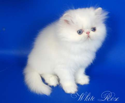 Элитный персидский котенок Xmas белого окраса голубоглазый в Москве Фото 1