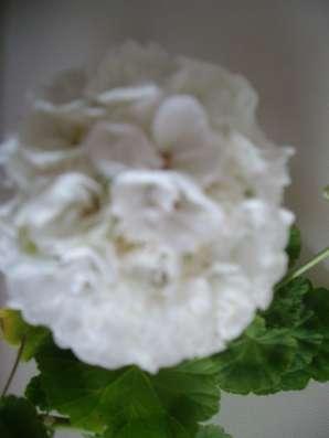 Герань белая, махровая, куст