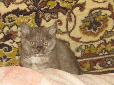 Британские котята (кошка и кот)