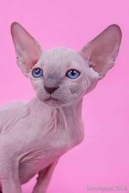 Поднимет Ваше настроение котёнок сфинкс! в Нижнем Новгороде Фото 1